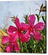 Bright Phlox Blooms Canvas Print