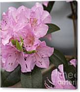 Bright Pink Azalea Canvas Print