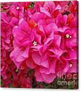 Bright Pink Bougainvillea Flowers Canvas Print
