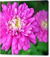 Bright Pink Zinnia Flowers Canvas Print