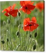 Bright Poppies 1 Canvas Print