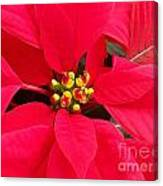 Brightest Red Poinsettia Canvas Print