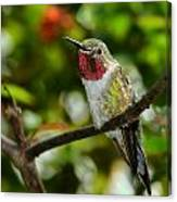 Brilliant Color Of The Ruby-throated Hummingbird Canvas Print
