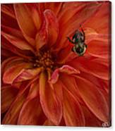 Brilliant Red Dahlia Canvas Print