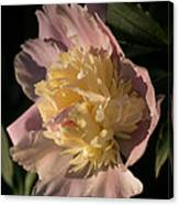 Brilliant Spring Sunshine - A Showy Pink Peony From My Garden Canvas Print