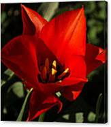 Brilliant Spring Sunshine In Red  Canvas Print