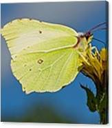 Brimstone Butterfly Canvas Print