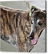 Brindle Greyhound Dog Usa Canvas Print