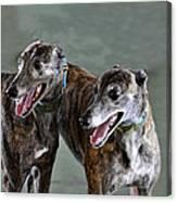 Brindle Greyhound Dogs Usa Canvas Print