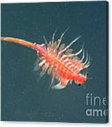 Brine Shrimp Canvas Print
