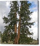 Brisslecone Pine Tree Canvas Print