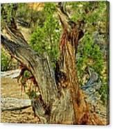 Bristlecone 1 Canvas Print