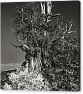 Bristlecone And Wildflowers In Black And White Canvas Print