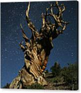 Bristlecone By Moonlight Canvas Print