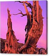 Bristlecone Pine At Sunset White Mountains Californa Canvas Print