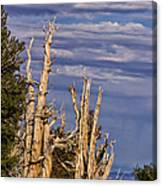 Bristlecone Warriors Canvas Print