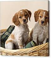 Brittany Dog Puppies In Basket Canvas Print