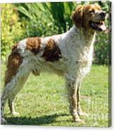 Brittany Dog, Standing Side Canvas Print