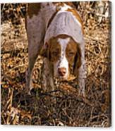 Brittany Spaniel Pixel's Pointed Woodcock Canvas Print