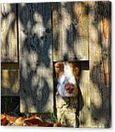 Brittany Watching Through The Fence Canvas Print