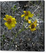 Brittlebush Flowers Canvas Print