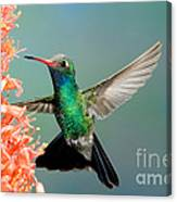 Broad-billed Hummingbird At Ocotillo Canvas Print