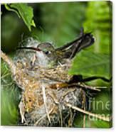 Broad-billed Hummingbird In Nest Canvas Print