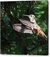 Broad-tailed Hummingbird Canvas Print