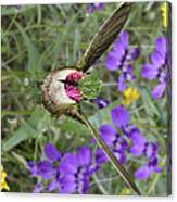 Broad-tailed Hummingbird - Phone Case Canvas Print