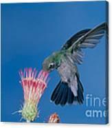 Broadbill Hummingbird Feeding At Flower Canvas Print