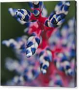 Bromeliad - Aechmia Dichlamydea - Guzmania Lingulata Canvas Print