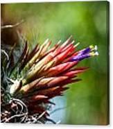 Bromeliad Strica Canvas Print