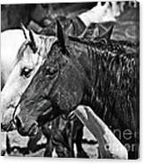 Bronc Buddies In Black And White Canvas Print