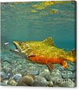 Brook Trout And Royal Coachman Canvas Print