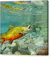 Brookie With Wet Fly Canvas Print