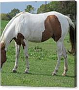 Brown And White Painted Horse Canvas Print