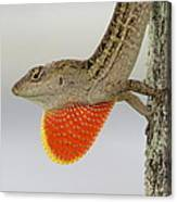 Brown Anole II Canvas Print