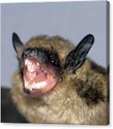 Brown Bat Eptesicus Fuscus Canvas Print