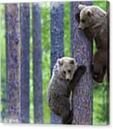 Brown Bear Climbing Lesson Canvas Print