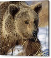 Brown Bear Eating Dry Grasses Canvas Print