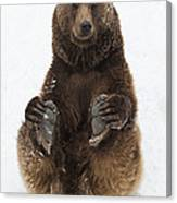 Brown Bear Holding Its Paws Germany Canvas Print