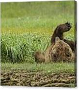 Brown Bear Picture 37 Canvas Print