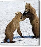 Brown Bear Ursus Arctos Cubs Play Canvas Print