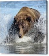 Brown Bear, Ursus Arctos, Fishing Canvas Print
