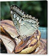 Brown Clipper Butterfly #3 Canvas Print