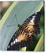 Brown Clipper Butterfly #4 Canvas Print