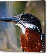 Brown Crested Kingfisher Canvas Print