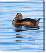 Brown Duck Canvas Print