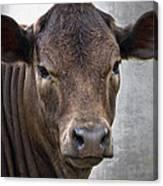 Brown Eyed Boy - Calf Portrait Canvas Print
