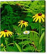 Brown-eyed Susans Along Rivier Du Nord Trail In The Laurentians-quebec Canvas Print